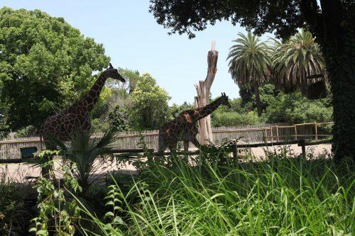 Жирафы в зоопарке Рима